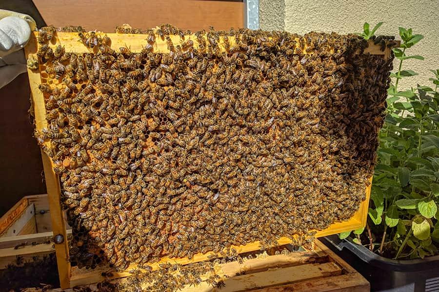 Vergleich der Stadtbienenmit den Landbienen
